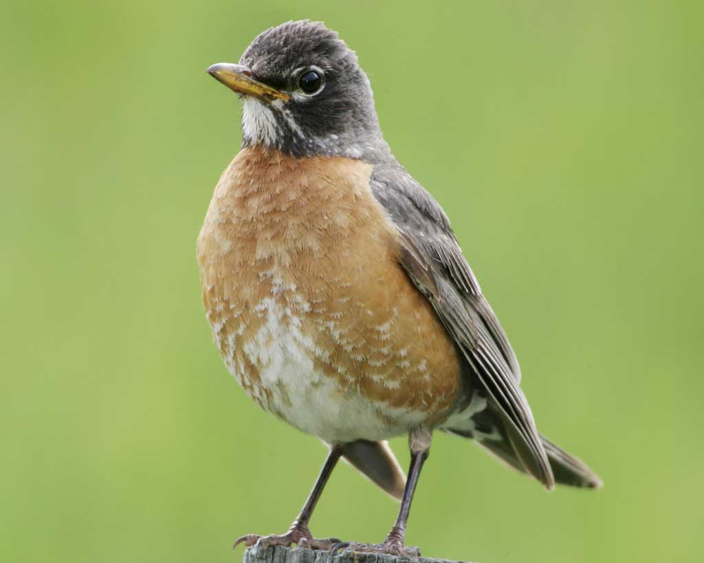 American Robin - Turdus migratoriusStatus: Very CommonWhen to see: Spring, Summer, Fall