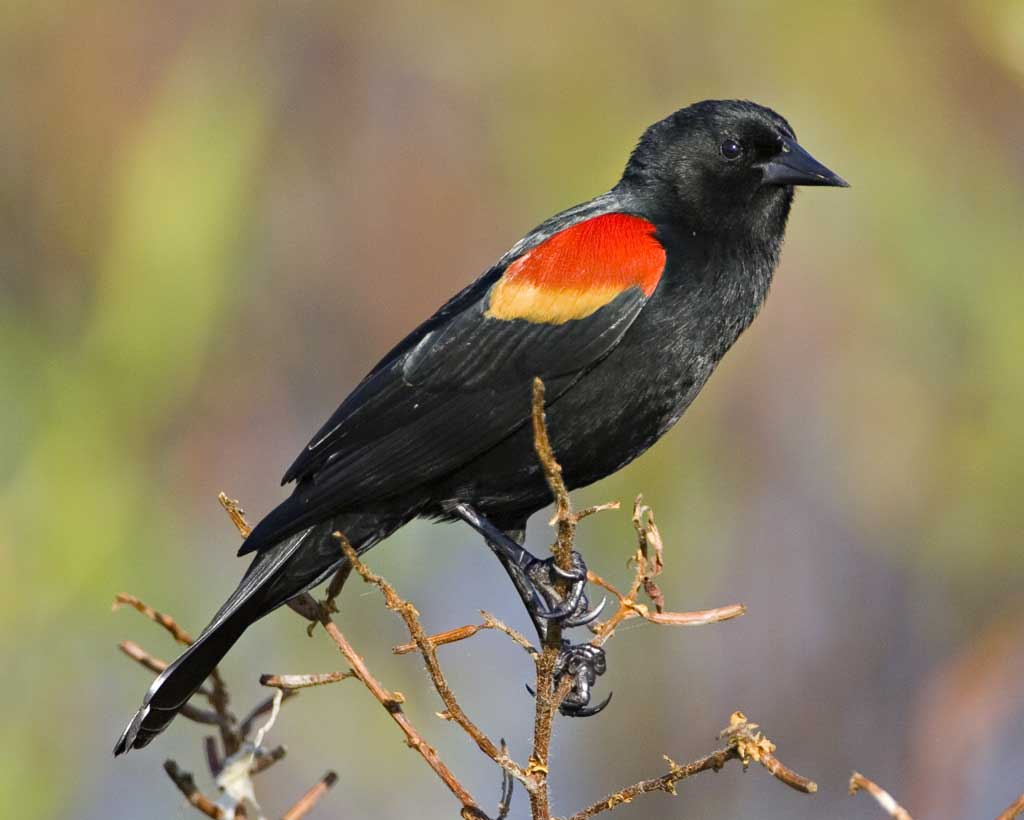 Red-winged Blackbird - Agelaius phoeniceusStatus: CommonWhen to see: Spring, Summer, Fall