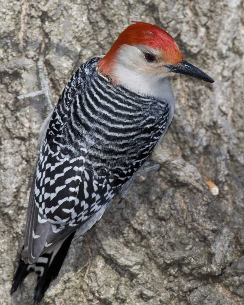 Red-bellied Woodpecker - Melanerpes carolinusStatus: UncommonWhen to see: Year-round