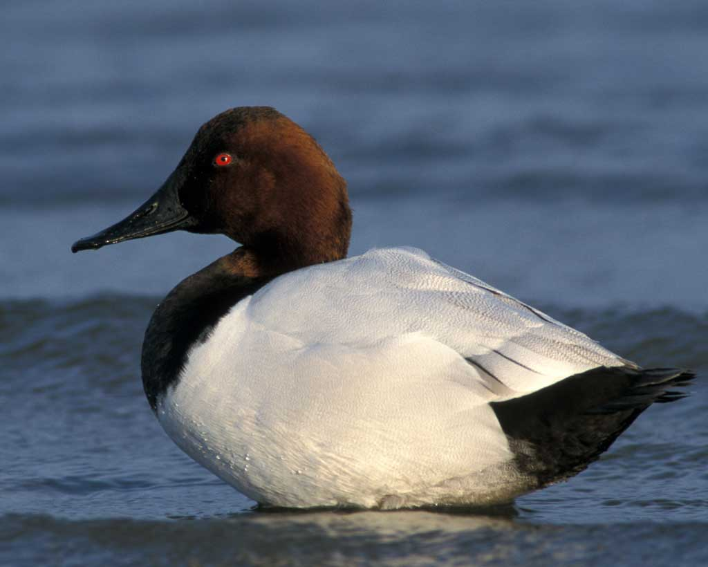 Canvasback - Aythya valisineriaStatus: UncommonWhen to see: Winter, Spring