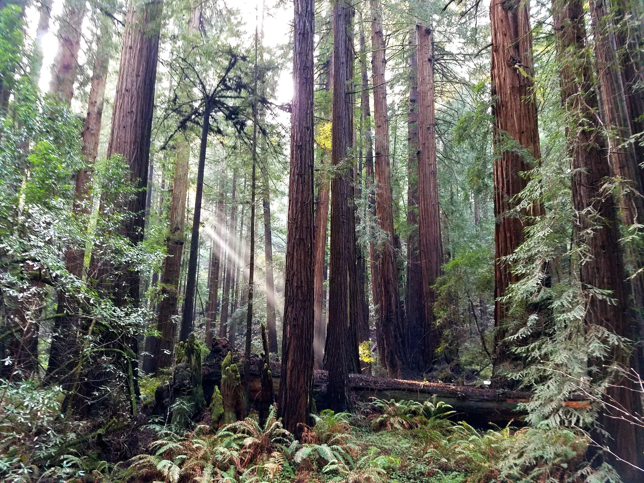 Magical Muir Woods