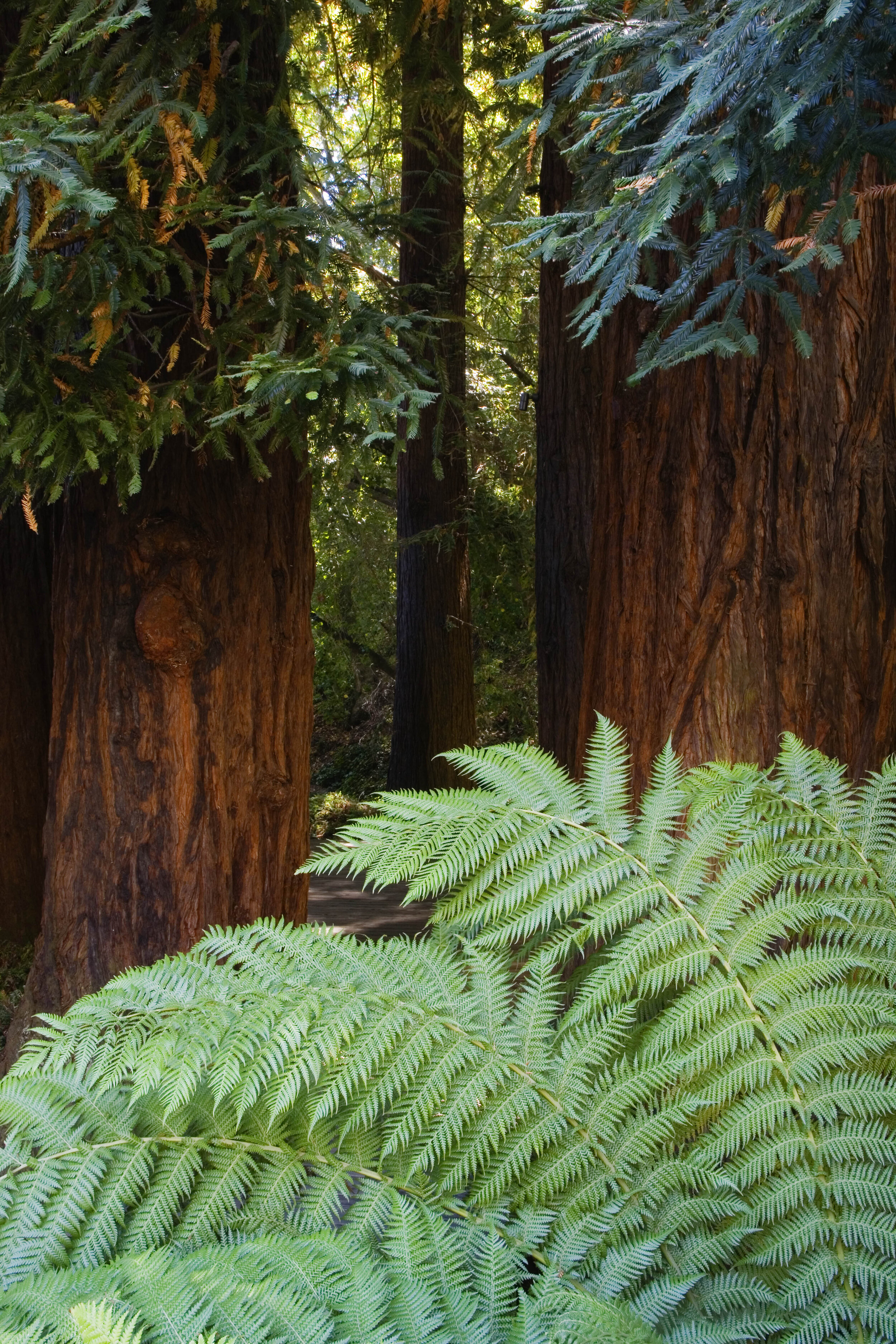 Redwoods, close up, nice.jpg