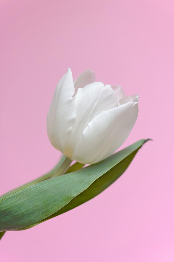 Tulip pale copy.png