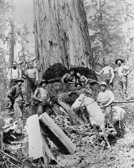 A crew from the Siler Logging Co. in Redmond cut a large cedar tree. The loggers on the upper left and right are standing on spring boards.  (OR/L 79.79.044)