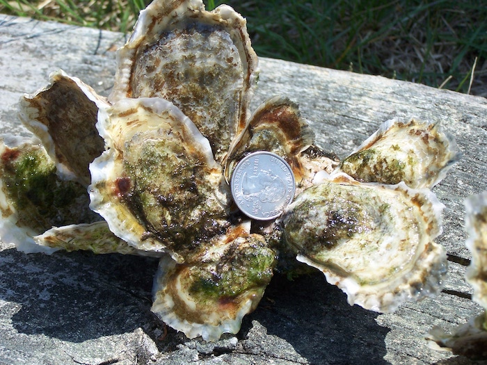"Raise ""Workhorse"" Oysters to Help Delaware's Inland Bays! - May 29, 2018"