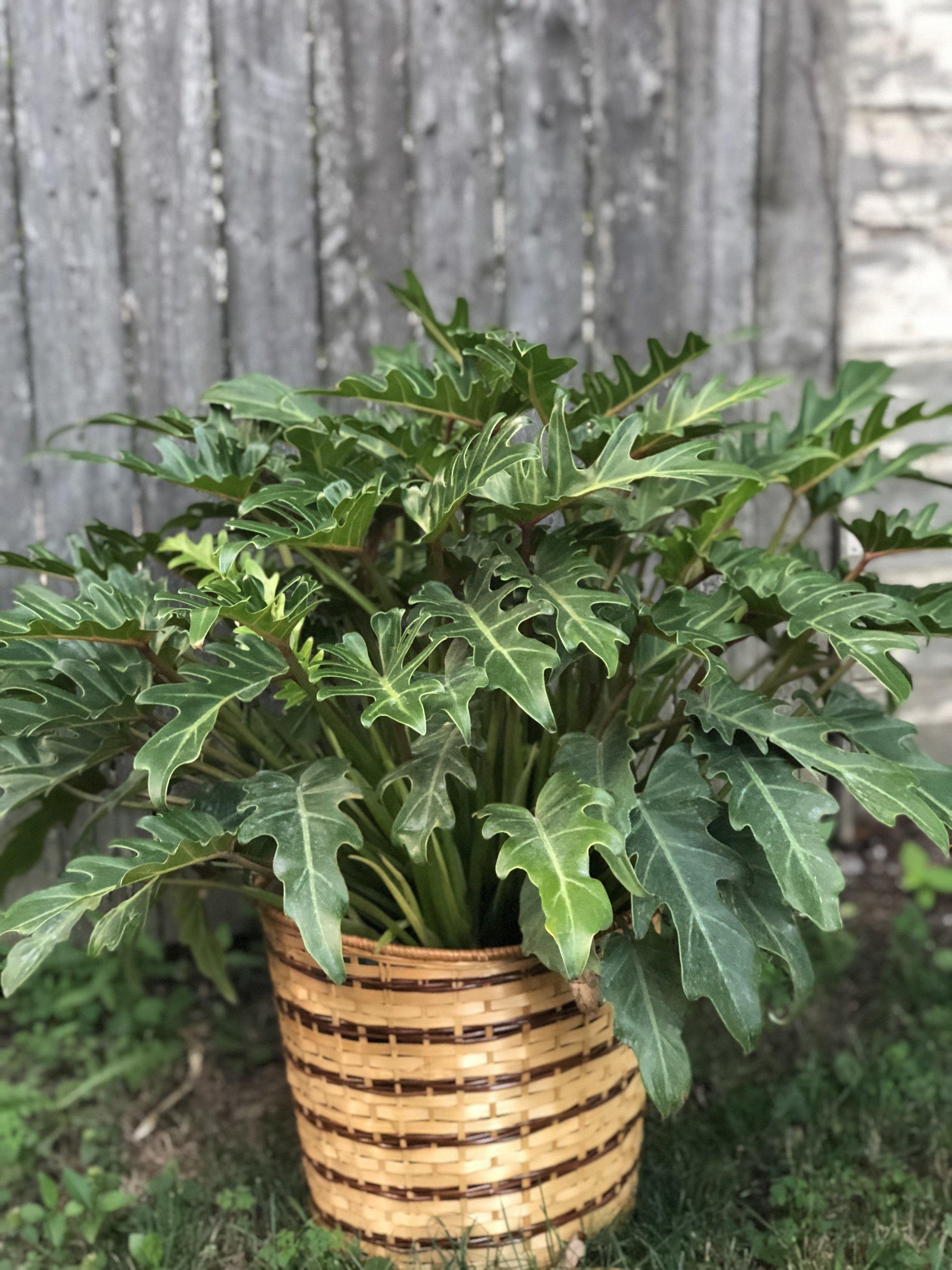 Philodendron Xandu