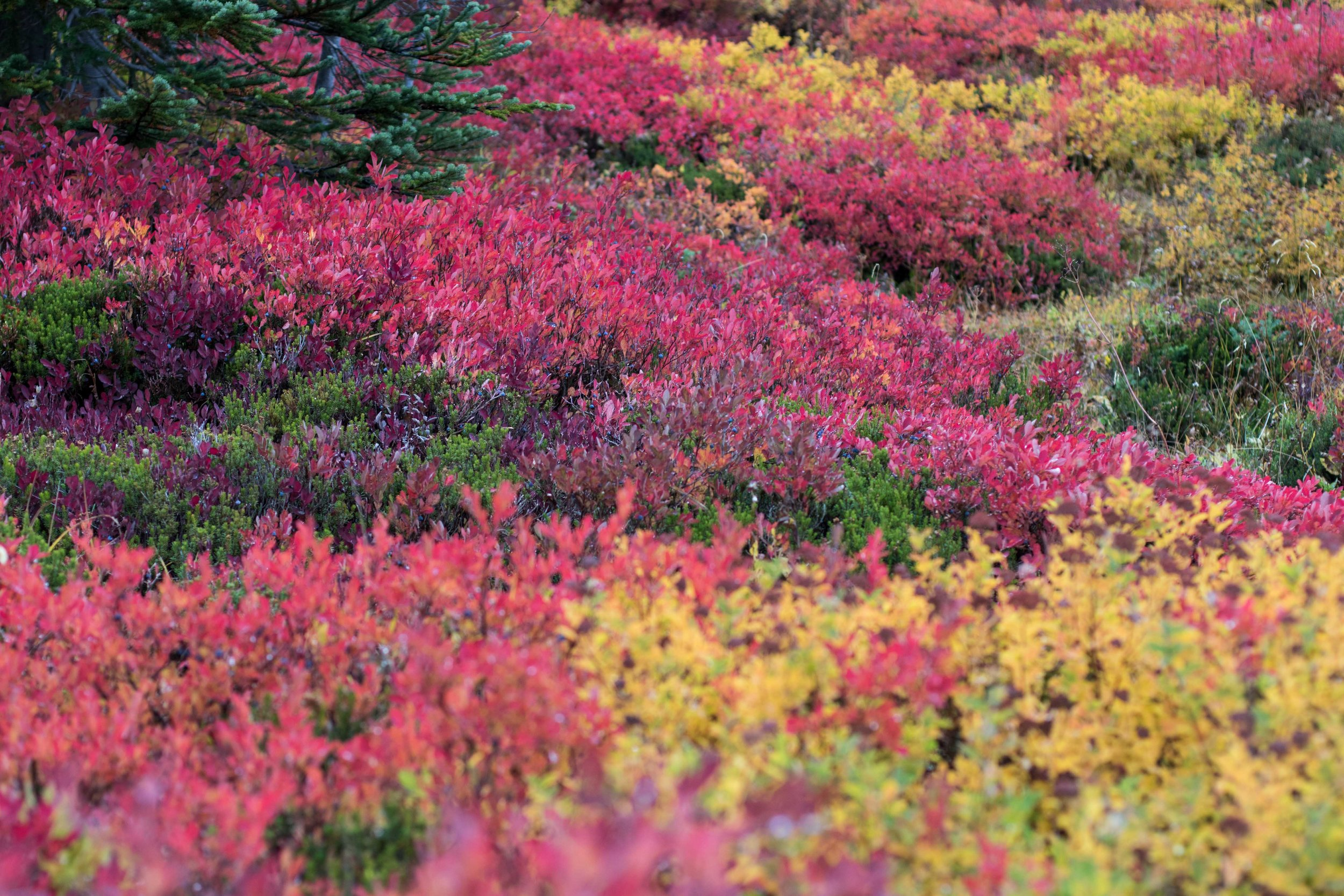 Fall colors at Mt. Rainier - Mt. Rainier was no where to be found