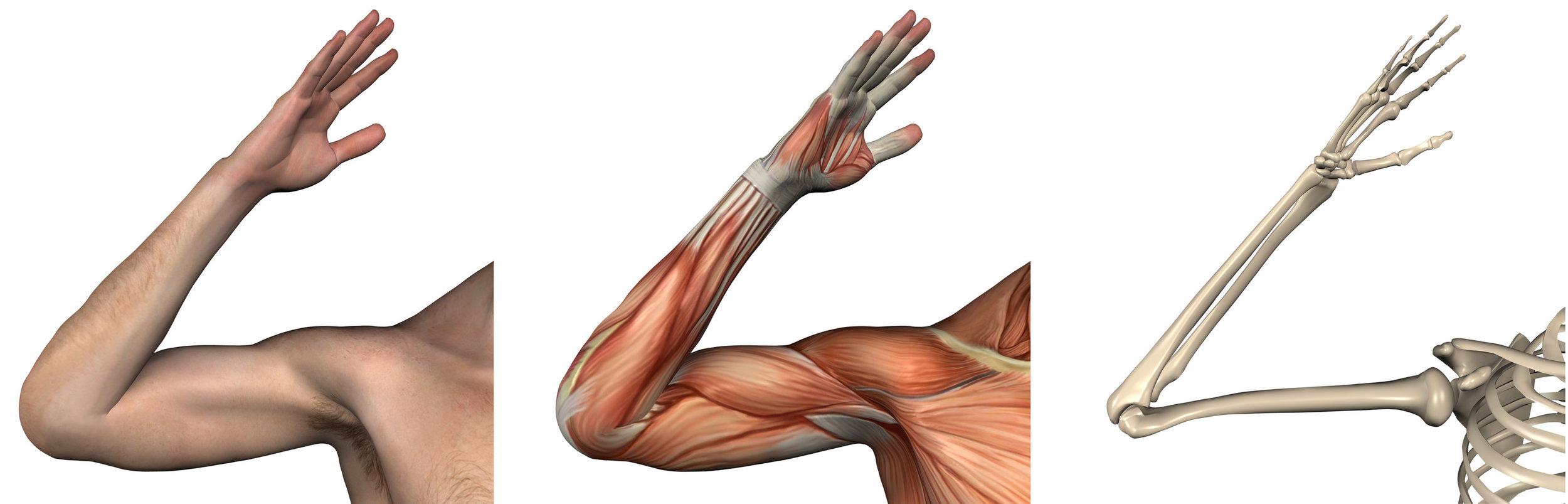 3 arms anatomy 2.jpg