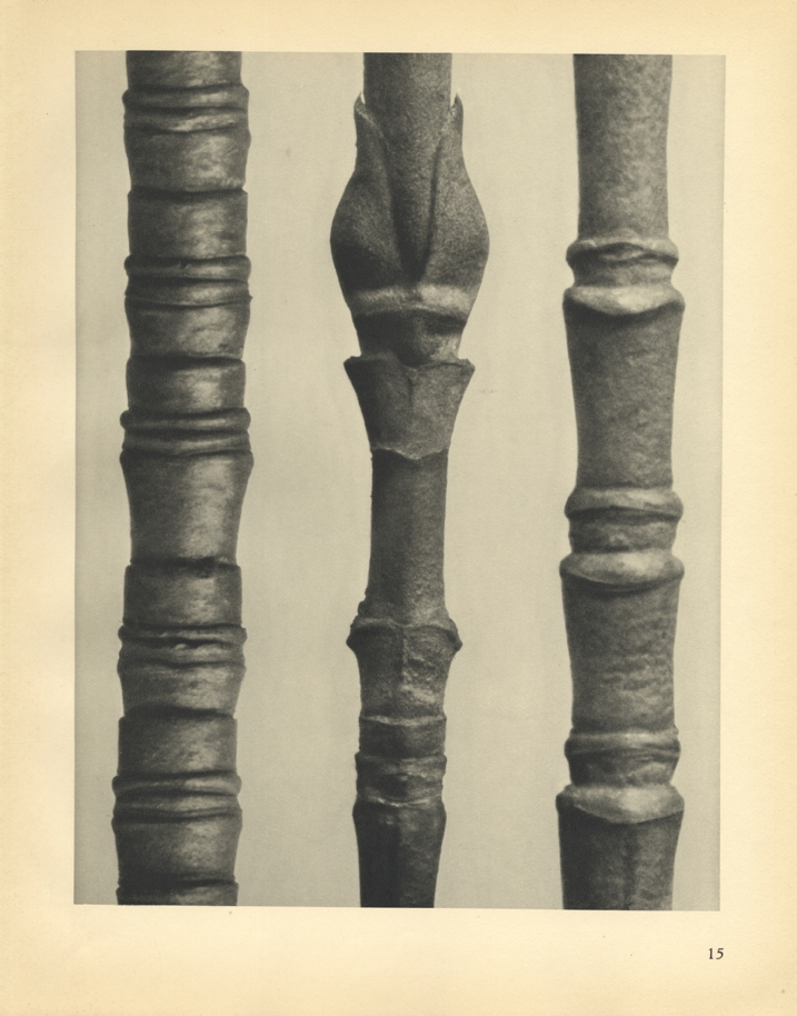 Karl Blossfeldt, Cornus Nuttallii (magnified 8 times), Cornus Nuttallii (magnified 8 times),Cornus florida (magnified 25 times), 1929
