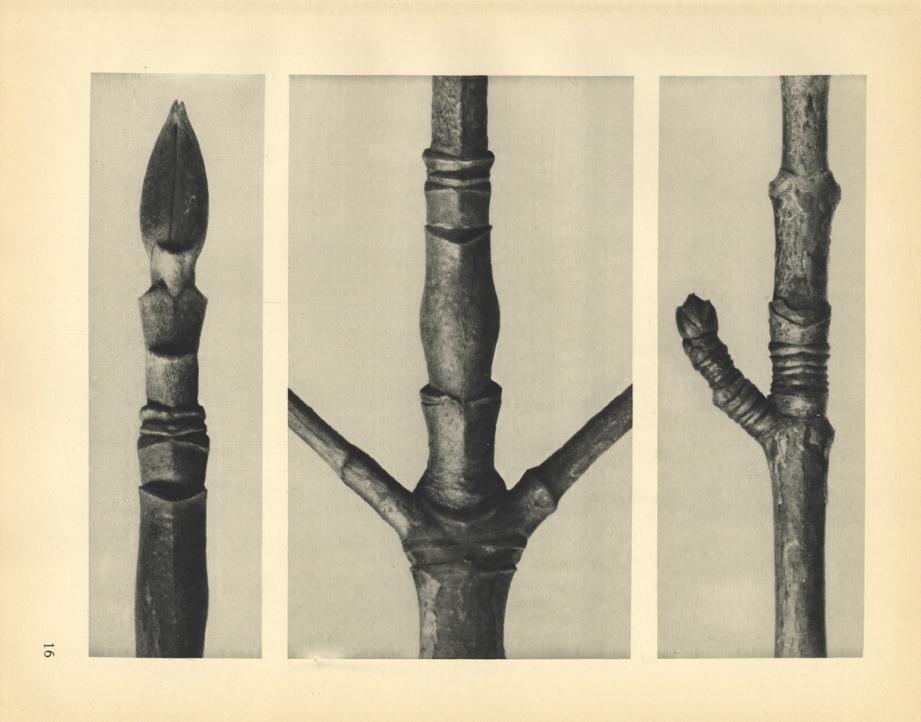 Karl Blossfeldt, Cornus Nuttallii (magnified 8 times), Cornus Nuttallii (magnified 8 times), Acer (magnified 8 times), 1929