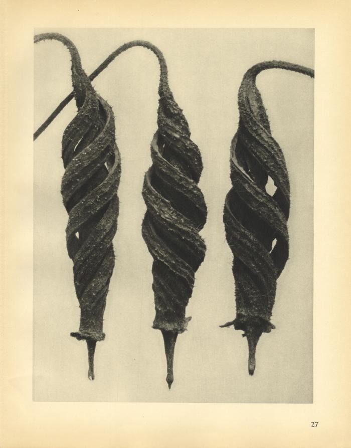 Karl Blossfeldt, Cajophora lateritia (magnified 5 times), 1929