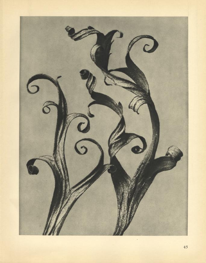 Karl Blossfeldt, Delphinium (magnified 6 times), 1929