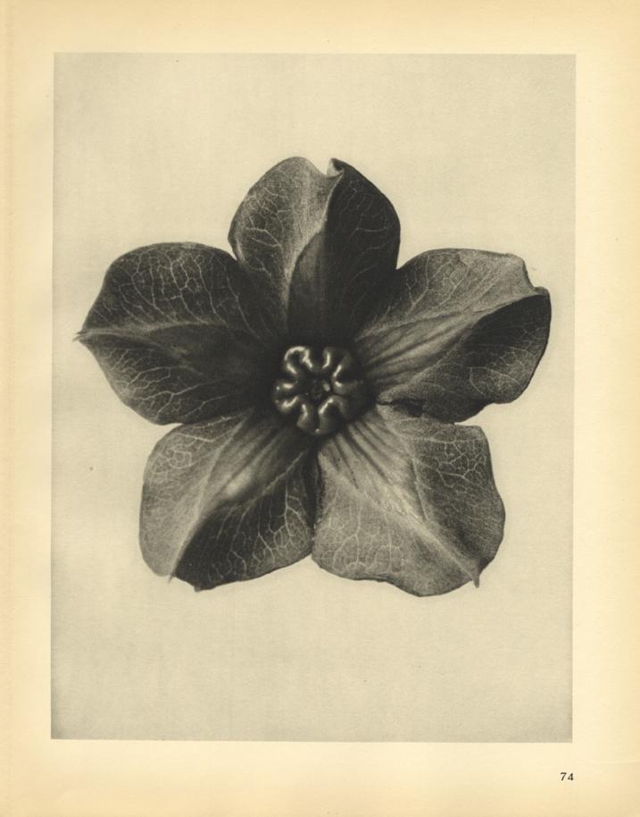 Karl Blossfeldt, Cobaea scandens (magnified 4 times), 1929
