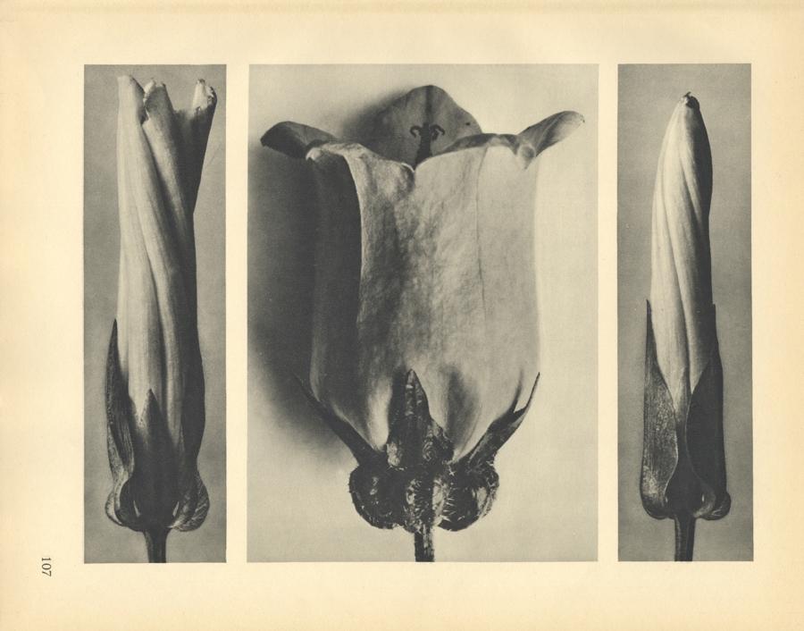 Karl Blossfeldt Convolvulus sepium (magnified 5 times), 1929