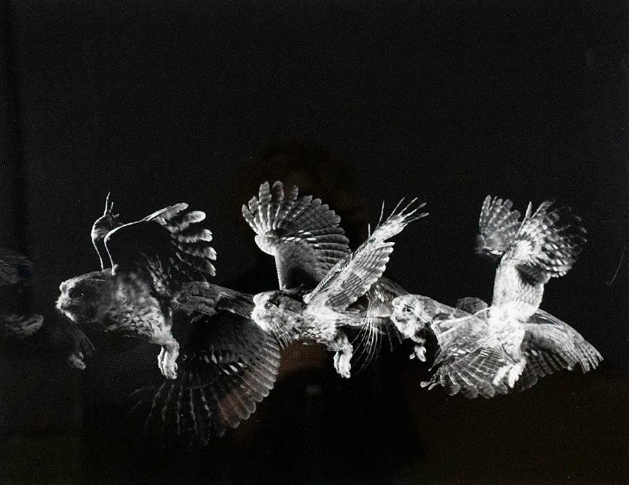 Harold Eugene Edgerton, Owl, 1965
