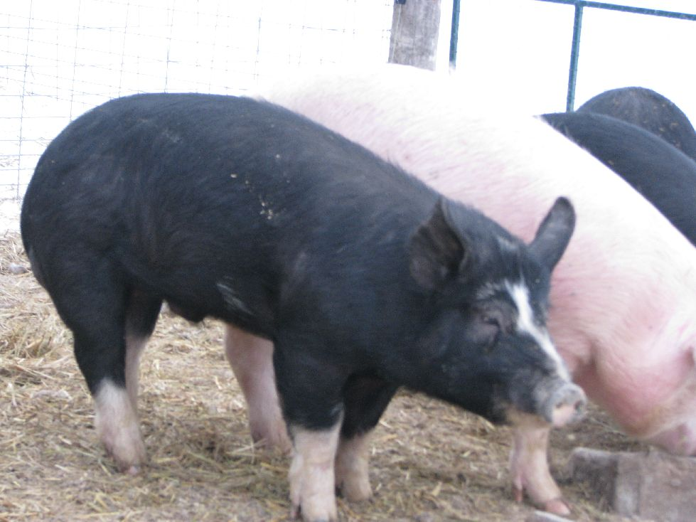 Willard our young Berkshire boar