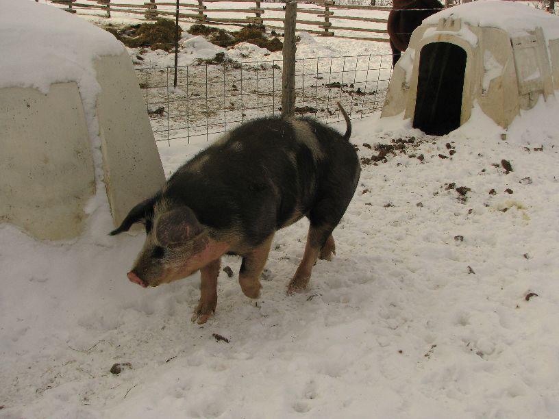 20110124 Happy pig