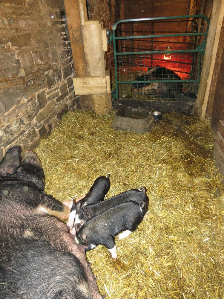 120227 nursery for pigs