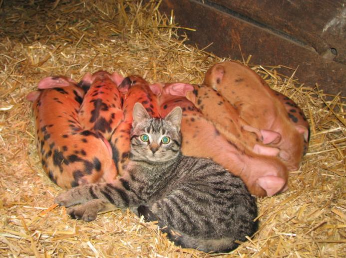 Sharing the heat lamp - piglets are five days old