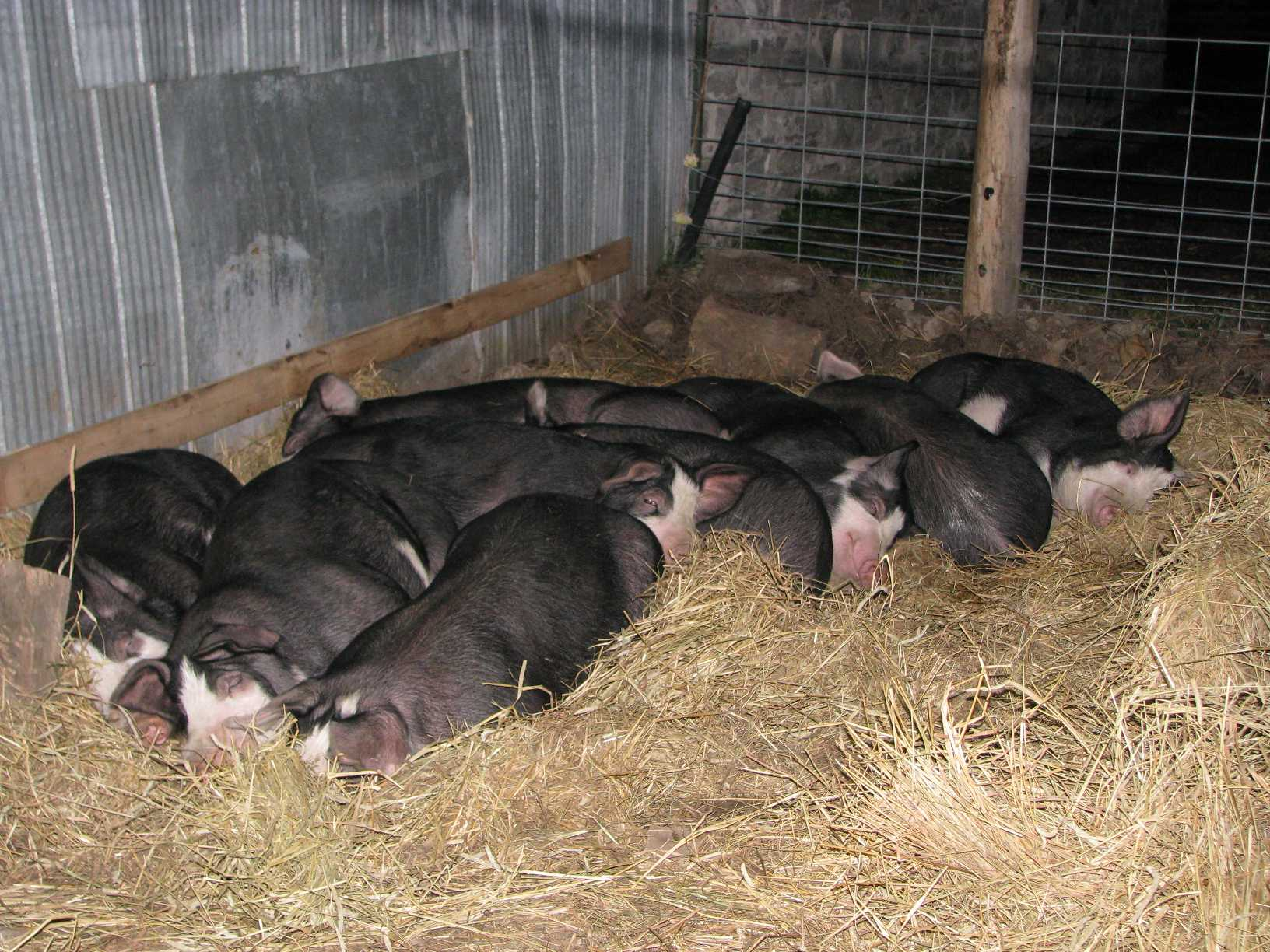 Sleeping Berkshire hogs ~6 months old