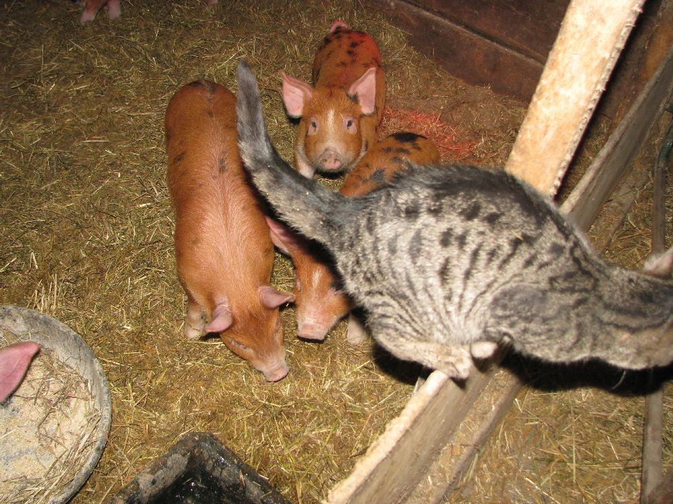 Mystery decides to beat a hasty retreat. Piglets are six weeks old.