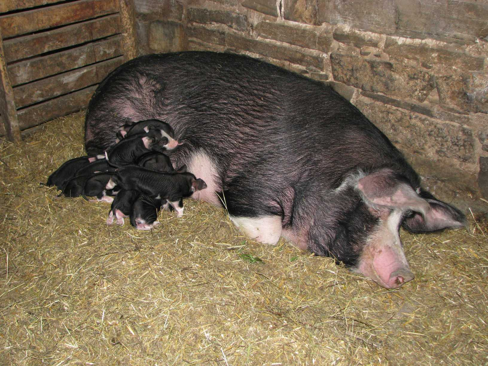 Berkshire sow and 2-day old piglets