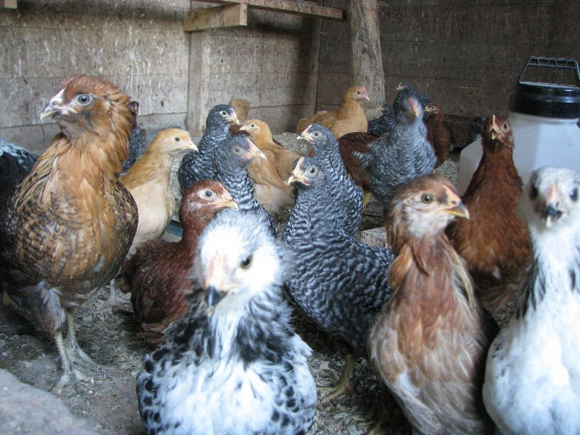 20110630 Pullets - various breeds