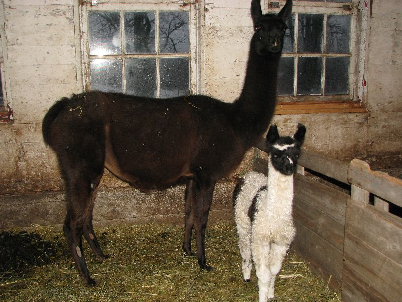 20110305 Dolly Llama and her adorable 10 day old baby
