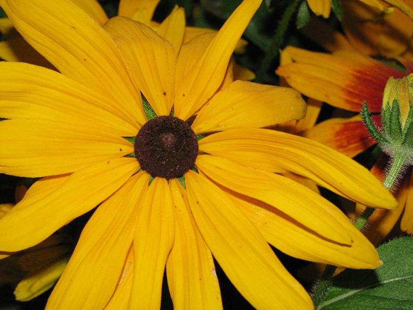 20100716 brown eyed susan