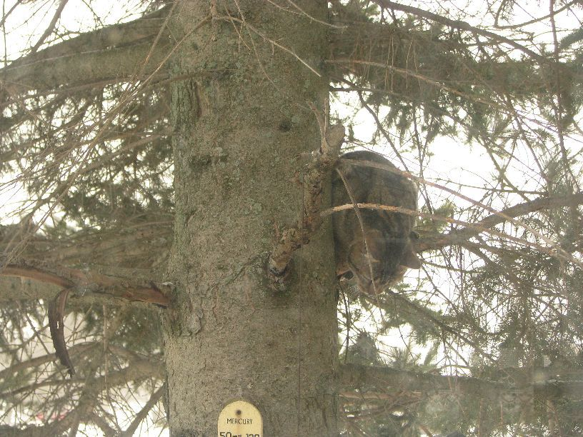 20110226 Alvin in the spruce tree by the house