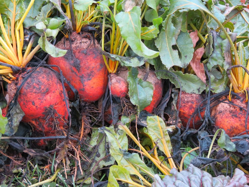 131110 golden beets harvested late in the fall - so tasty.