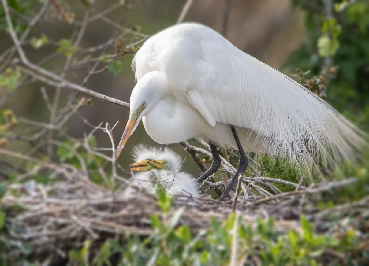 Egret Nest.jpg