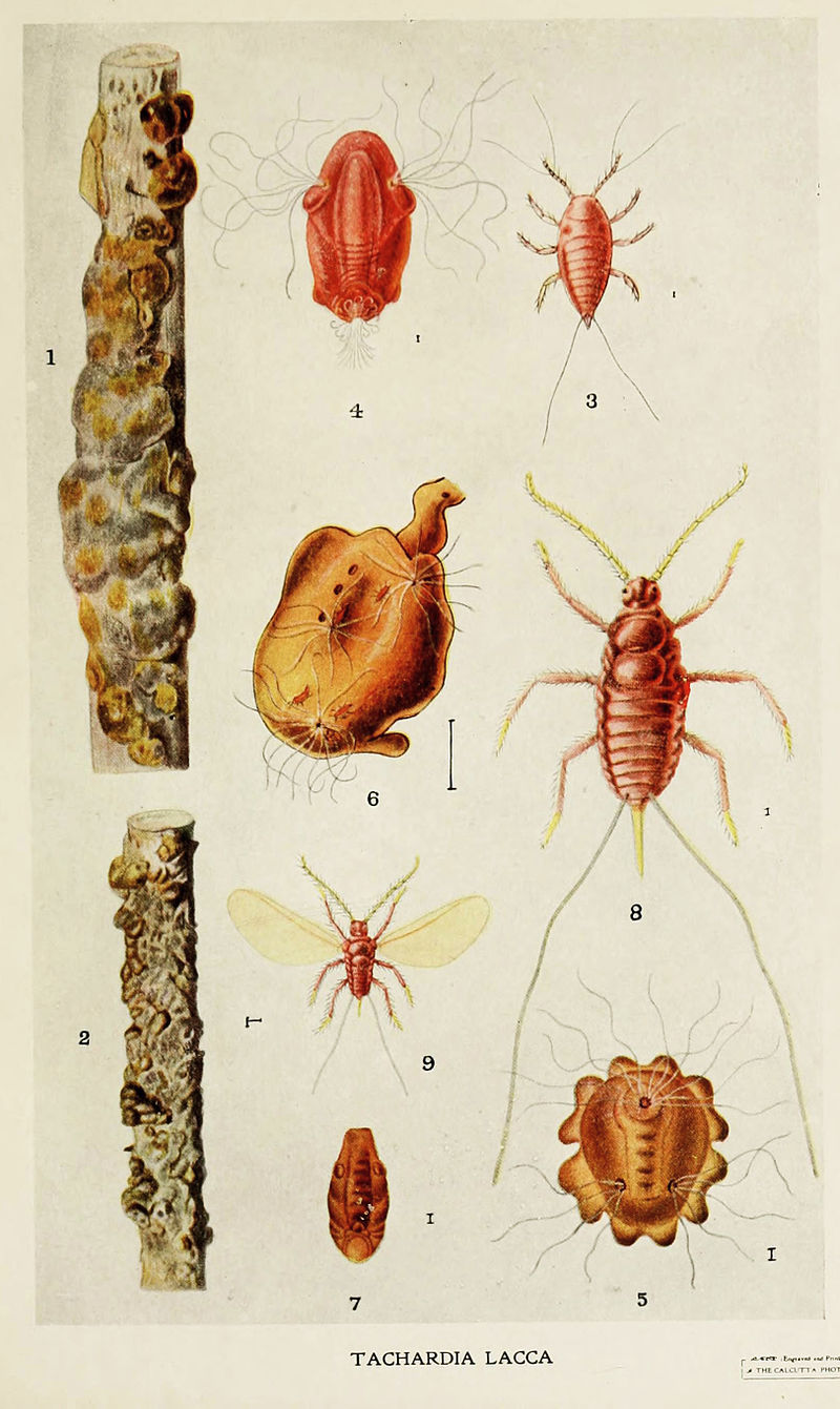 800px-02-Indian-Insect-Life_-_Harold_Maxwell-Lefroy_-_Kerria-Lacca.jpg