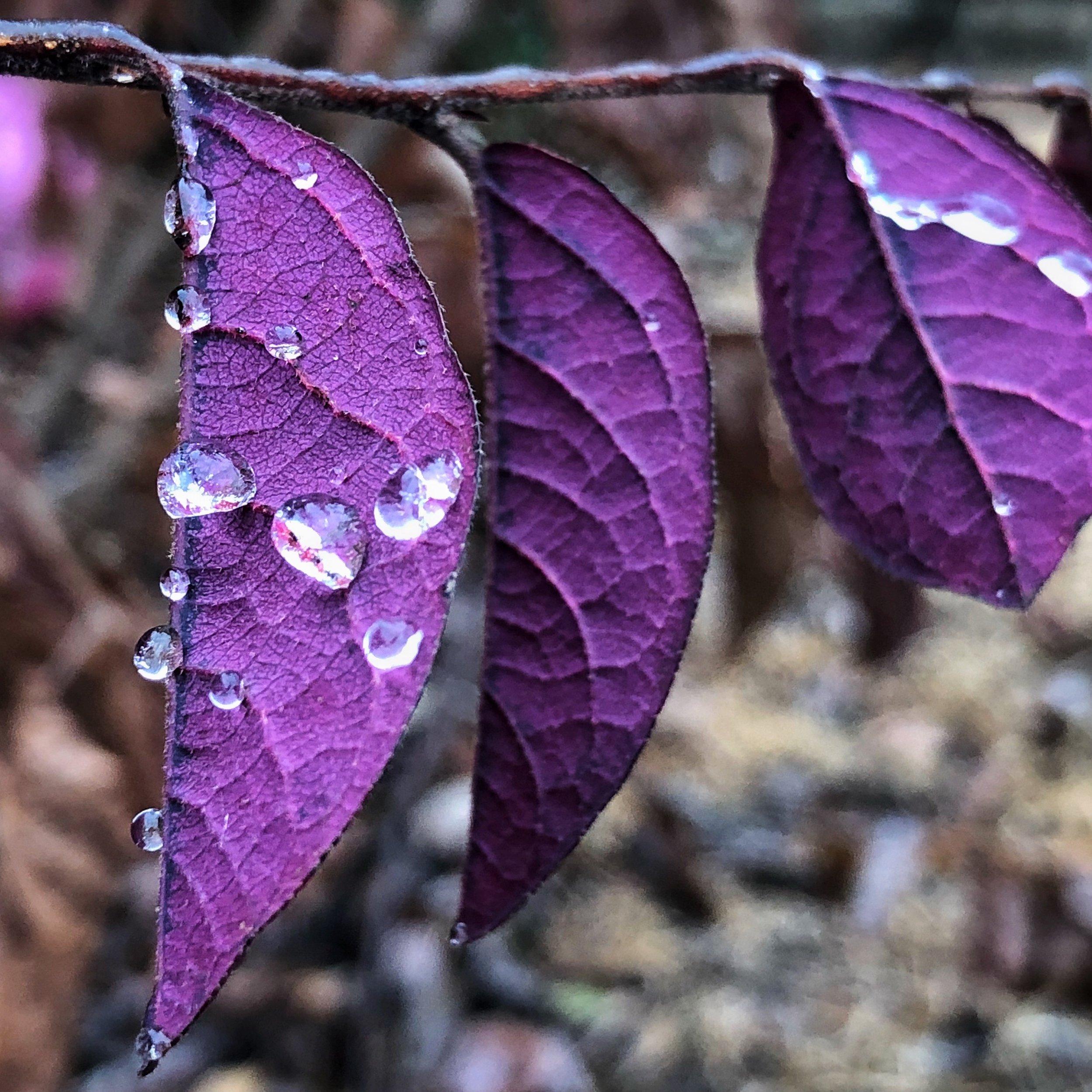 Water Beads on Purple Leaves