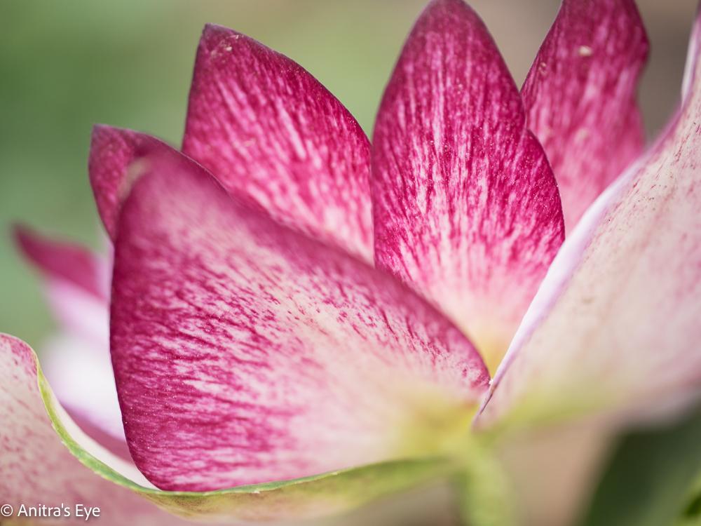 Lenten Rose, 4