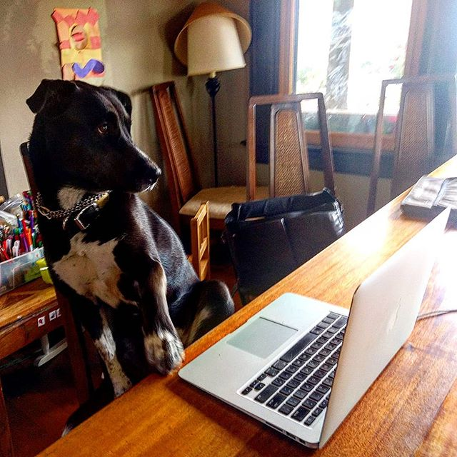 Dog Alice gazes with love and terror at author David's novel-writing laptop. #AWP #portland