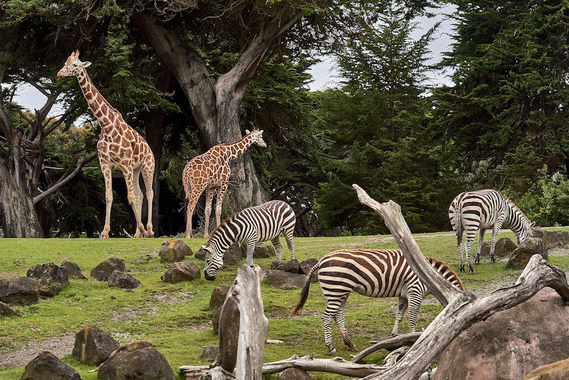 Zoo enclosure with giraffes and zebras.