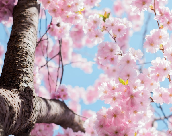A pink flowering tree against a clear blue sky.