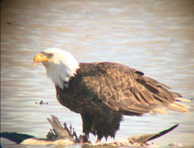 Eagle in Wild Rice Field (2).PNG