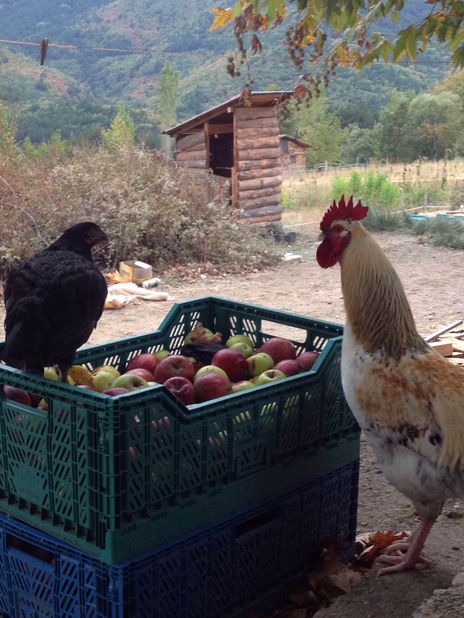 tavuklara da elma.jpg