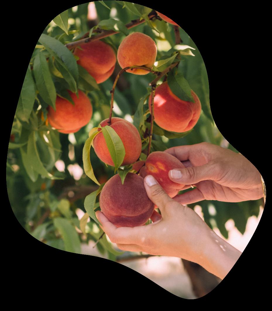 Picking Fruit - Harvest the benefits