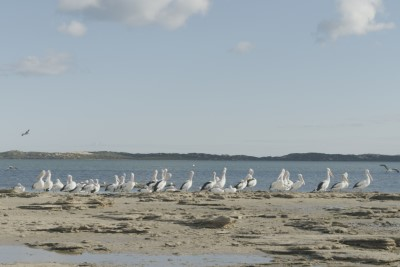 Darrell pelicans1.jpg