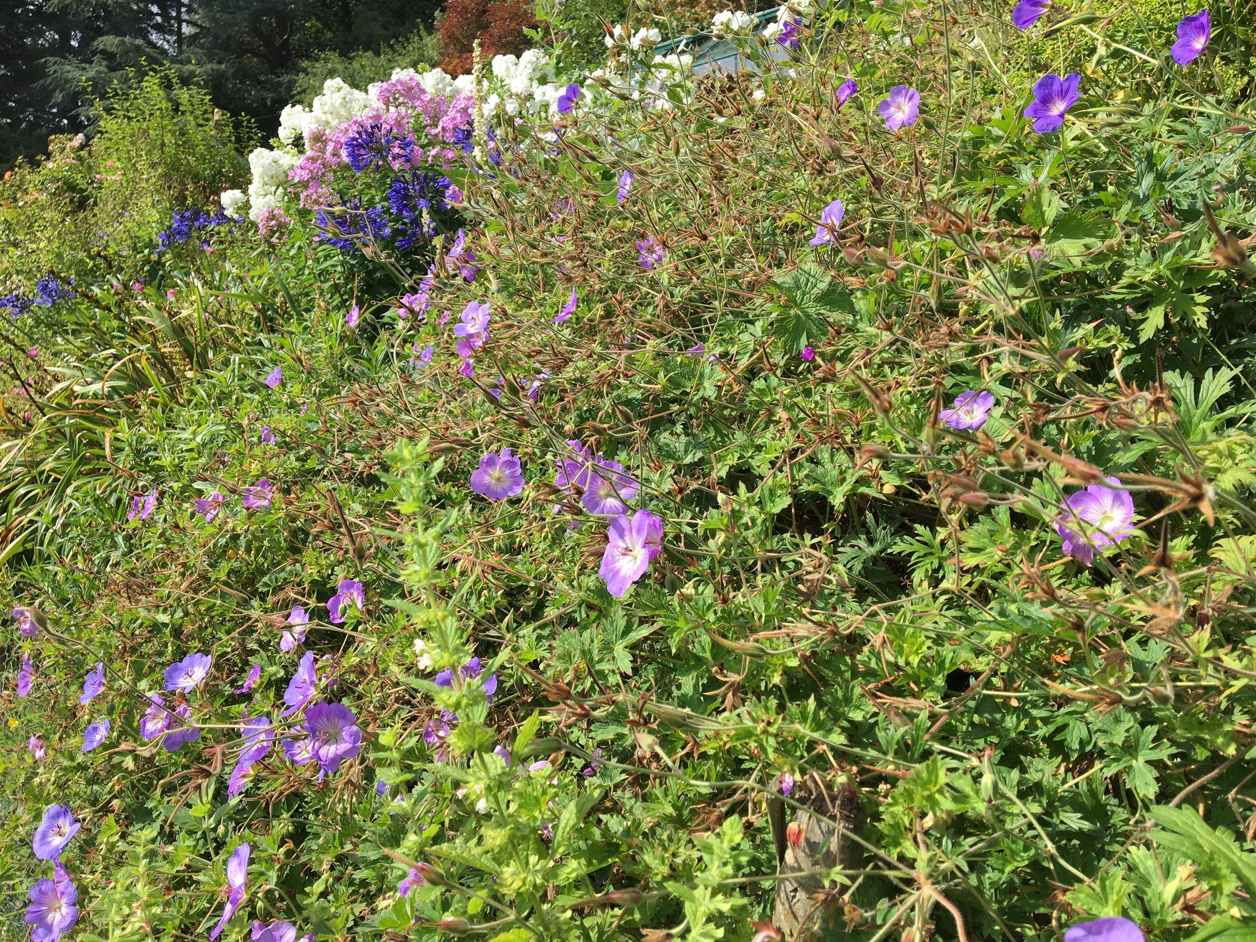Phlox, agapanthus and geraniums