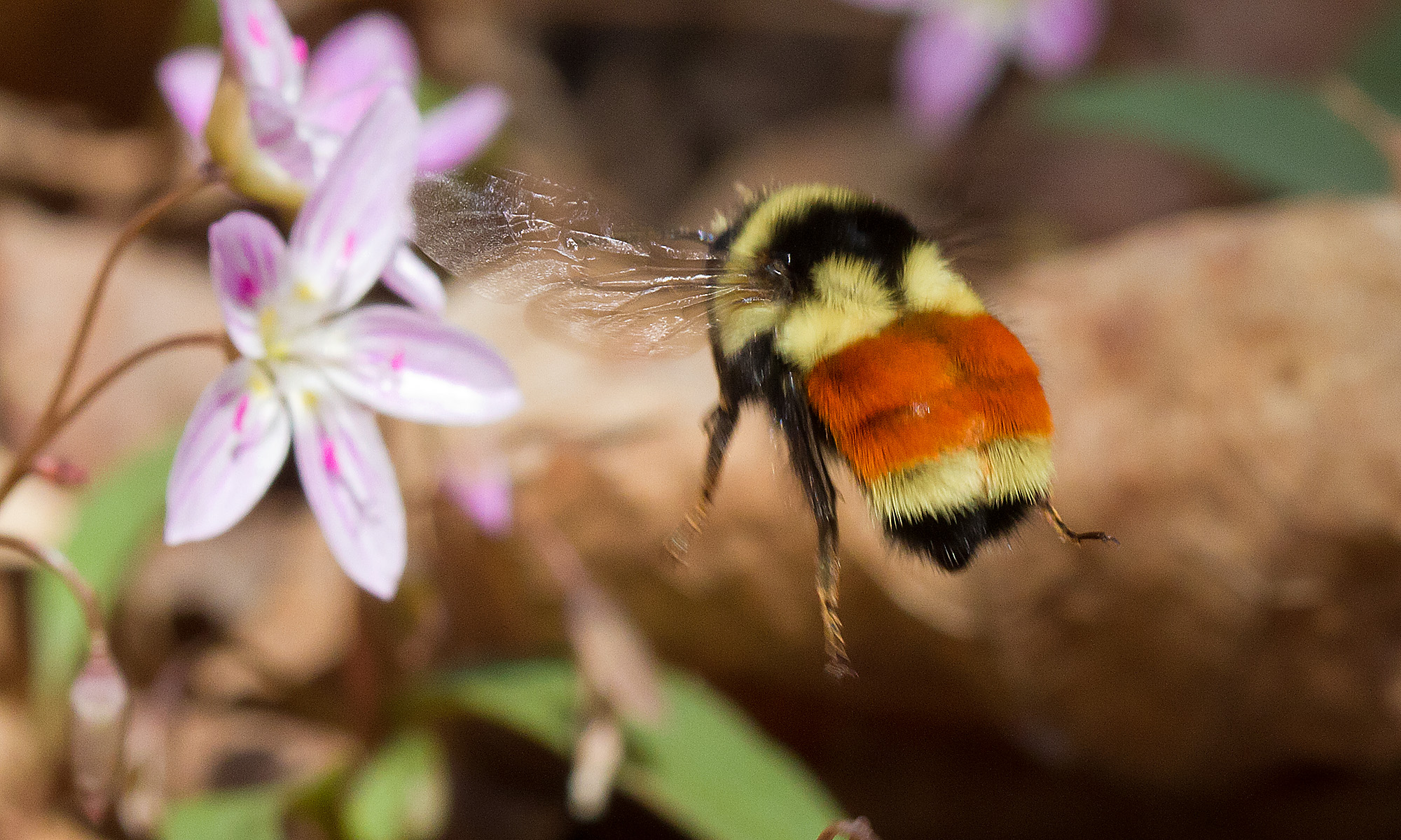 Tri-colored Bumblebee ©Bryan Pfeiffer.jpg