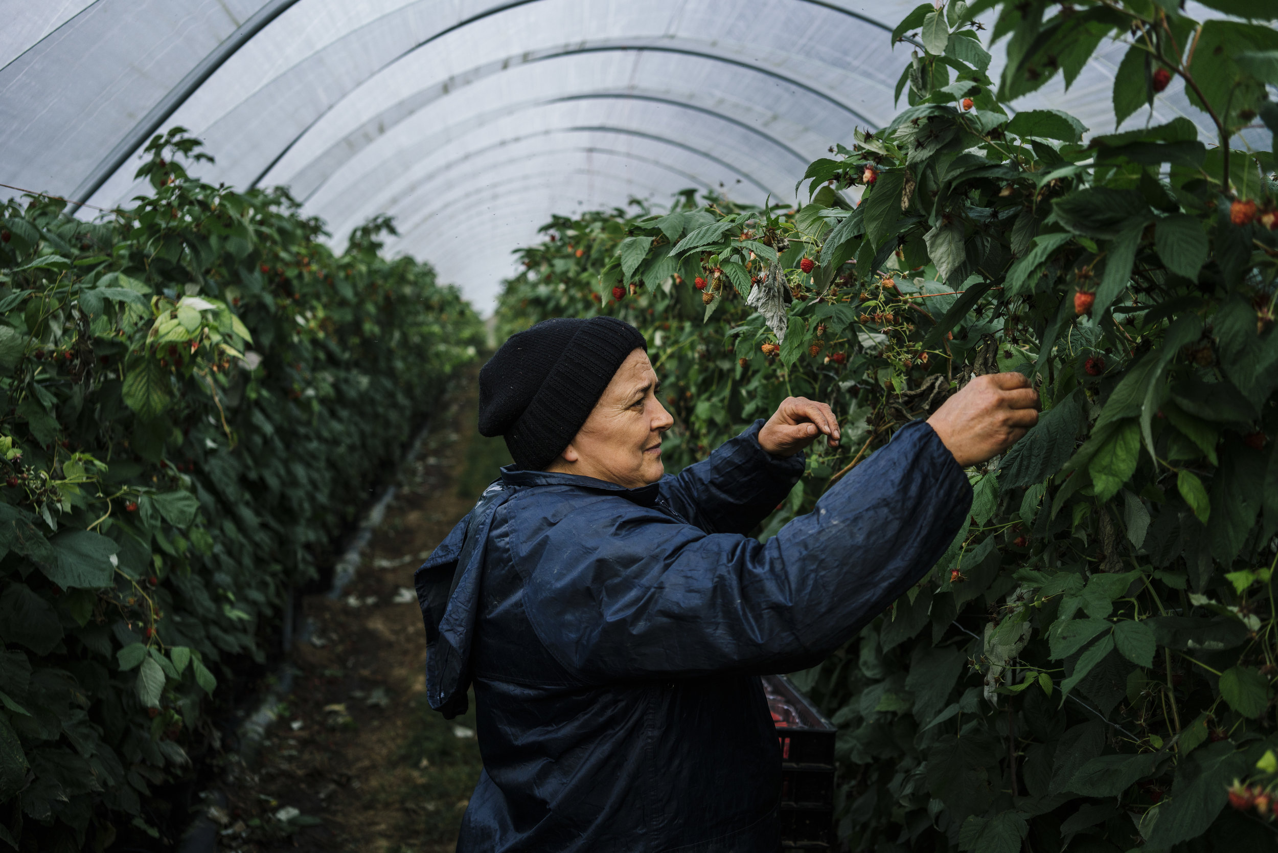 A Bulgarian fruit picker picks raspberries in a tunnel at Oakdene Farm, a fruit and vegetable farm owned by W.B. Chambers & Son in Langley, Kent, England, Thursday, Nov. 16, 2017. (David Azia for NBC News)