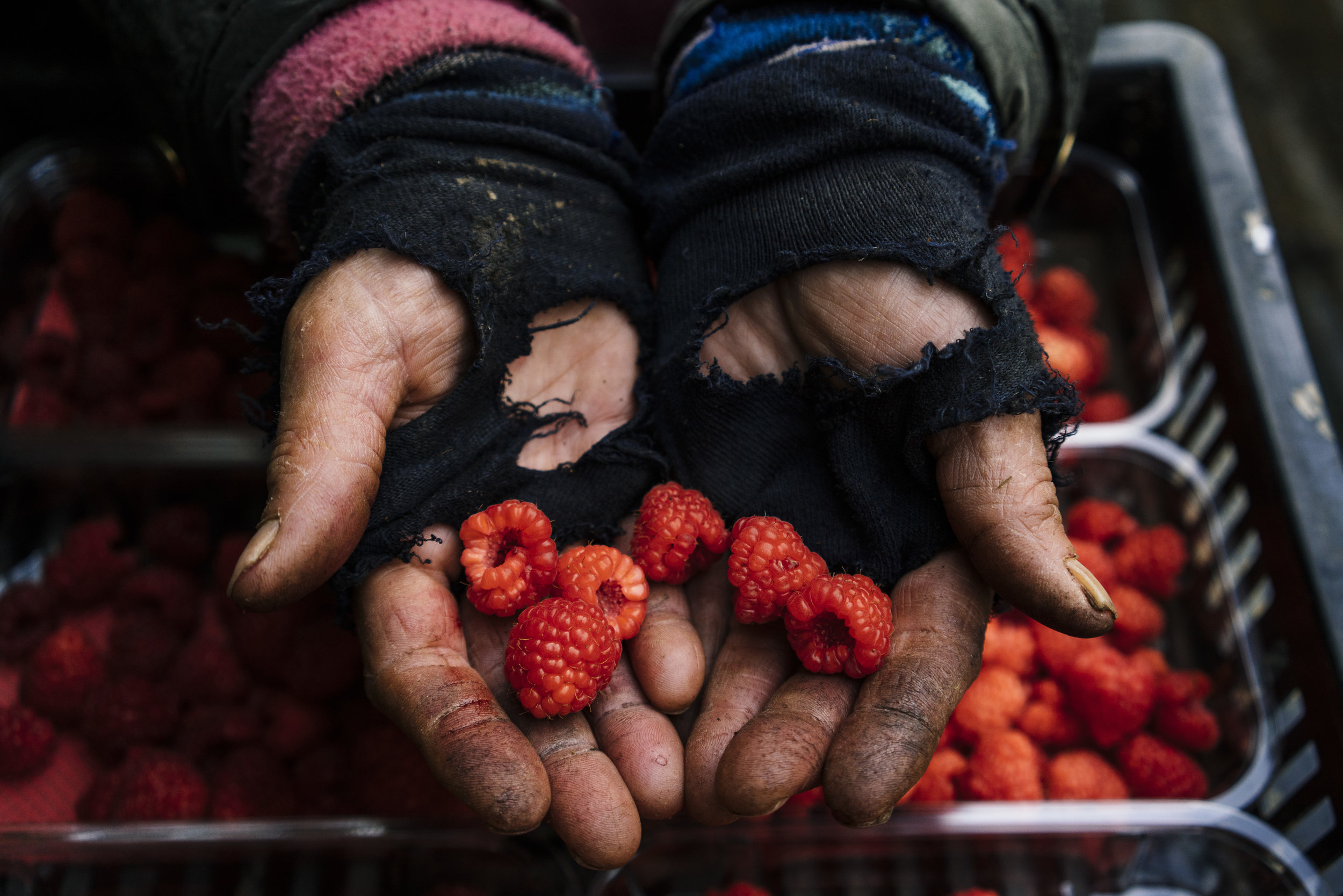 A Bulgarian fruit picker holds raspberries in her hand in a tunnel at Oakdene Farm, a fruit and vegetable farm owned by W.B. Chambers & Son in Langley, Kent, England, Thursday, Nov. 16, 2017. (David Azia for NBC News)