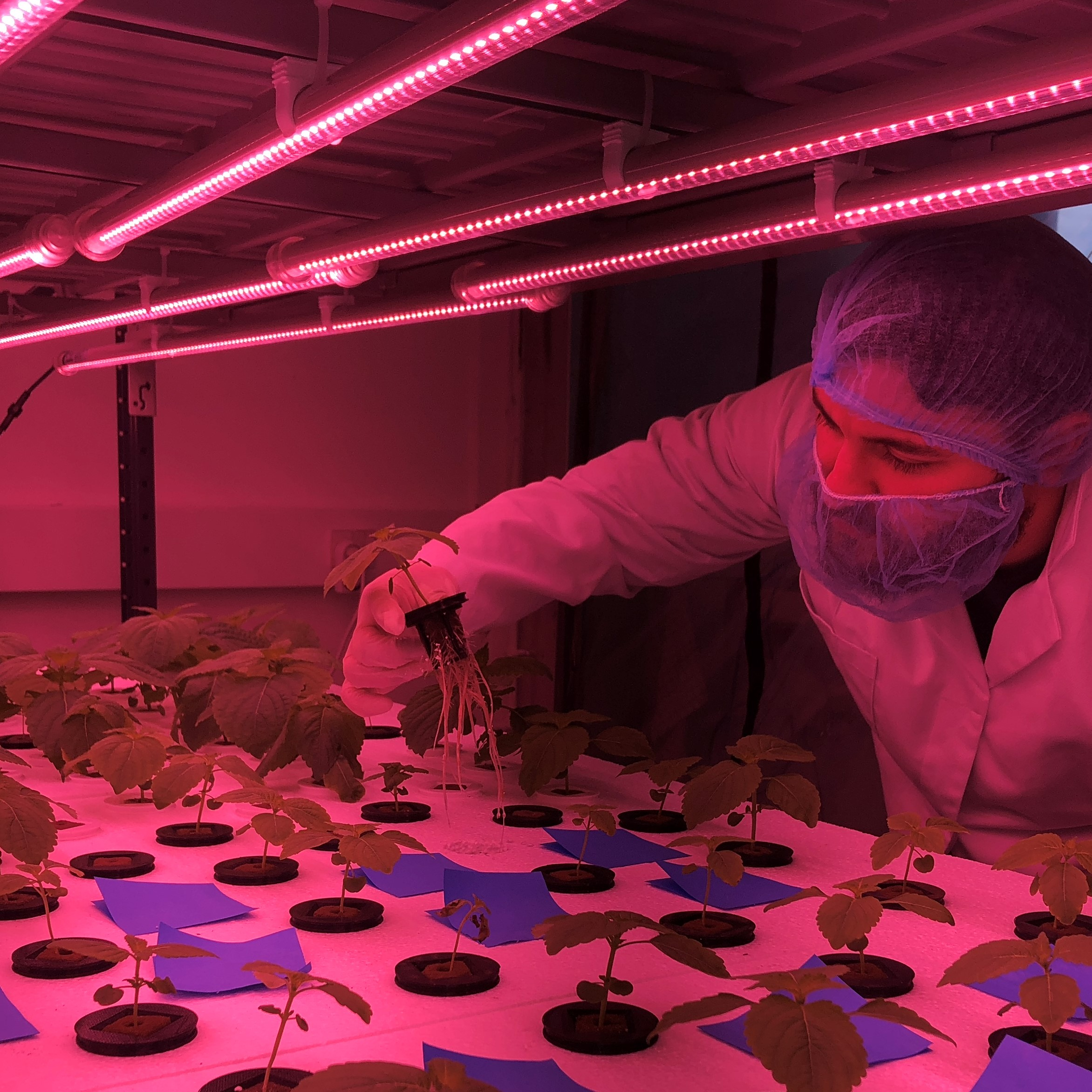 Servet undersøger rødderne på vores  koreanske perilla