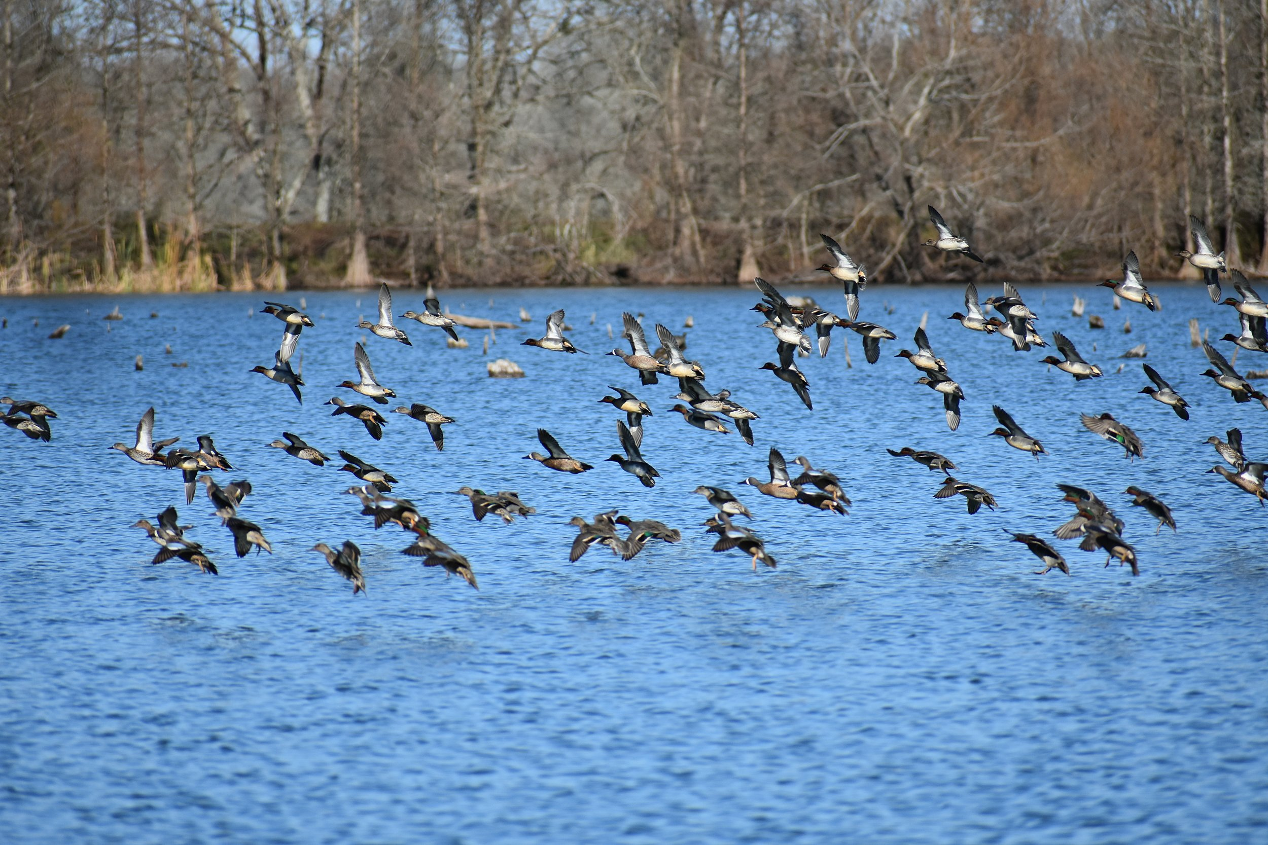 Waterfowl  - A variety of waterfowl species can be seen in this picture to include green-wing and blue-wing teal.