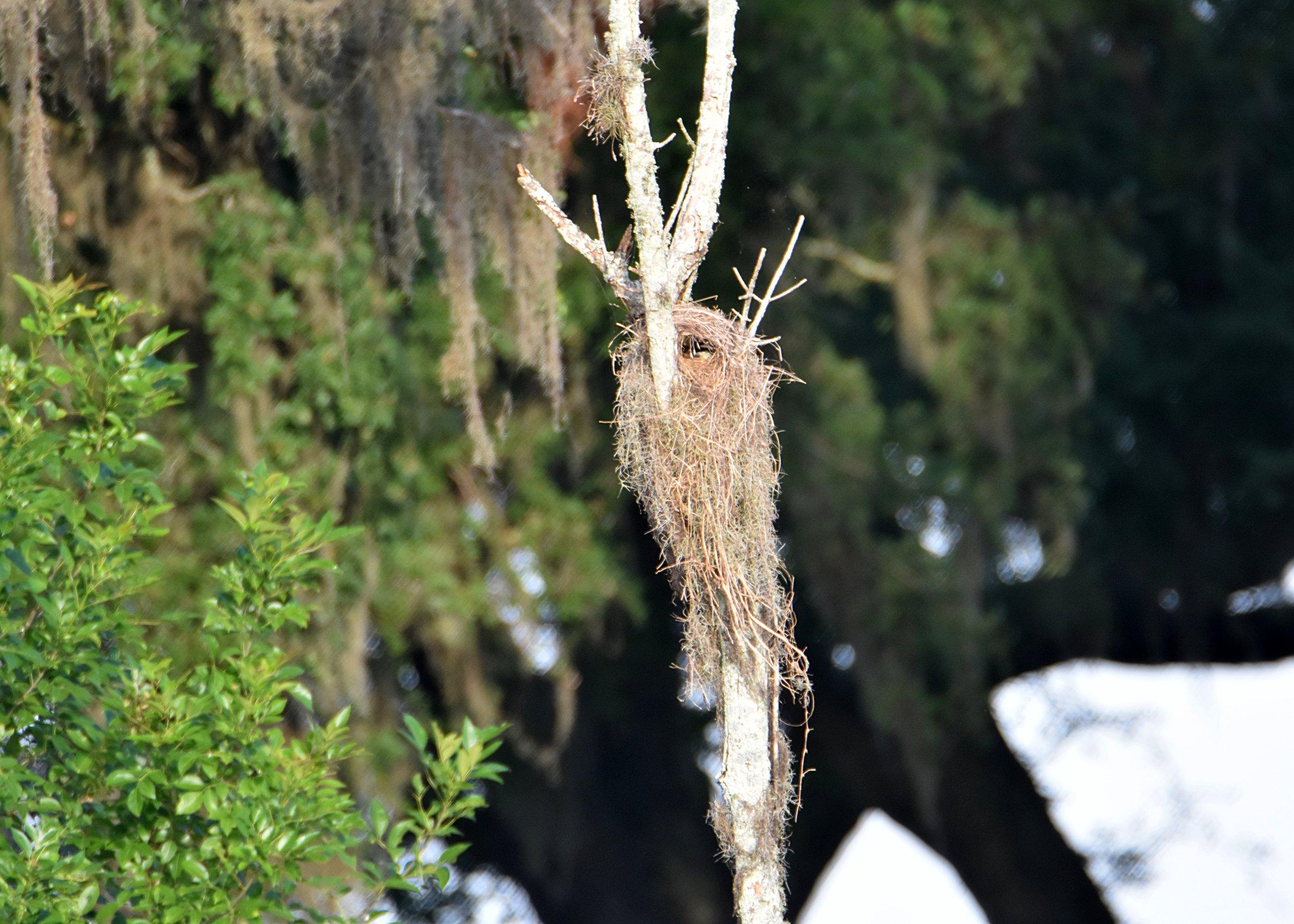 A Great Kiskadee inside its nest.