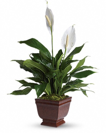 Lovely One Spathiphyllum Plant    The graceful spathiphyllum plant with its snowy white flowers is a familiar and reassuring sight in any setting. A gift of beauty that lasts.The beautiful spathiphyllum plant will be delivered in a a classic noble heritage urn.    Buy Now>>